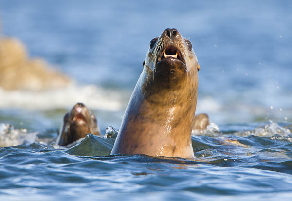 Stellar Sea Lions, Frederick Sound, Alaska. The 500mm f/4 at work on the water: the cropped image was shot from about 80 yds, from the seat of a kayak.