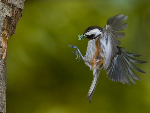 Chestnut-backed Chickadee flies to home-made nest
