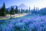 Lupine wildflowers at Indian Henry's, Mt. Rainier National Park.