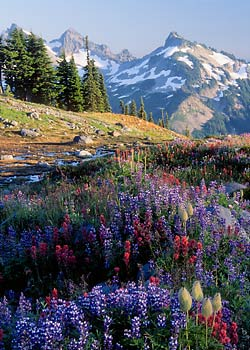 Wildflowers at Mazama Ridge, Mt. Rainier