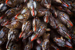 Gooseneck Barnacles, Tongue Point, Strait of Juan de Fuca, Washington State.