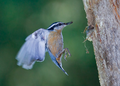 "A Red-brested Nuthatch in deep shadow, with bounced light from 42"" Photoflex LiteDisc."