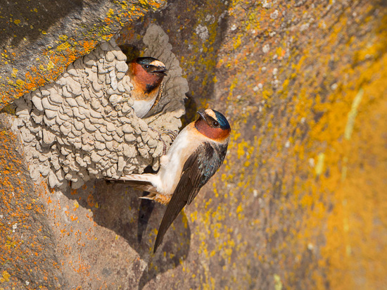 Cliff Swallows, sunlit with reflected light off pond. Note light and dark shadows.
