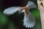 Chickadee Flight Challenge  2014/05