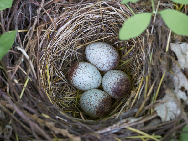 Spotted Towhee eggs in nest