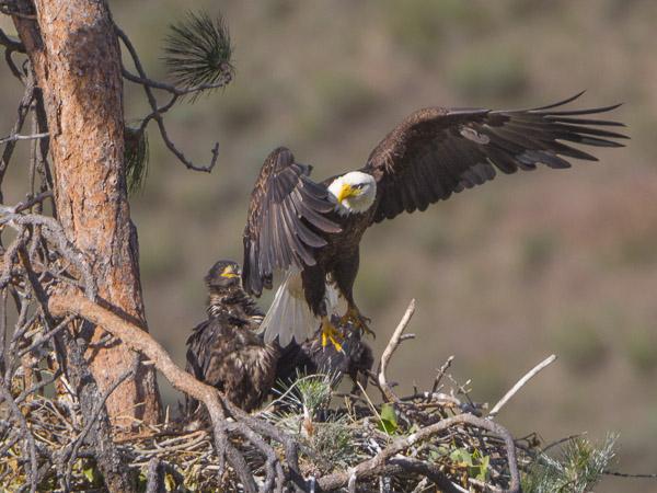Bald Eagle Nest, Yakima Canyon, WA