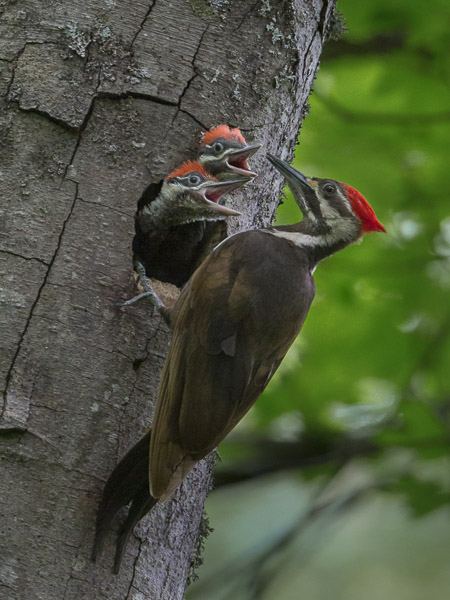 Pileated Woodpecker nest with chicks