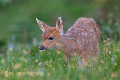 Fawn capture from low-angle position. Canon 5D III, 500 f/4 @f/5.6,1/200s, ISO 800.