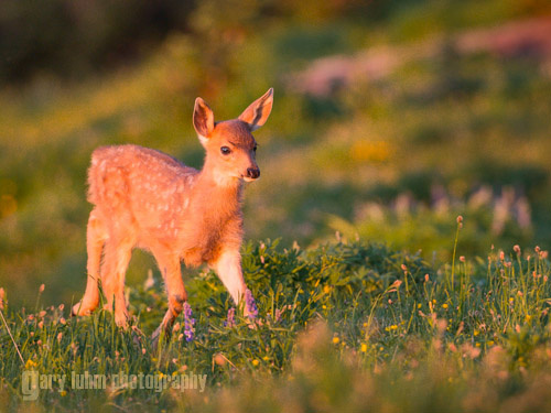 Same fawn in very warm, evening light. Canon 5D III, 500 f/4 @f/5.6,1/400s, ISO 1600.