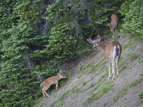 Doe with two fawns, along Obstruction Point Rd. Canon 5D III, 500 f/4 @f/5.6,1/320s, ISO 1600.