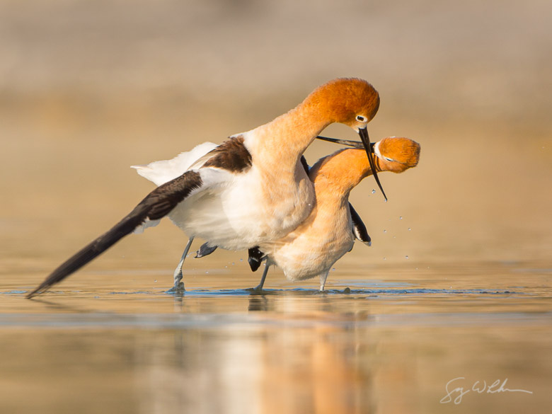 American Avocets, mating ritual. Canon 5D III, 500 f/4L, 1.4x. 1/1000s, f/8, ISO400.