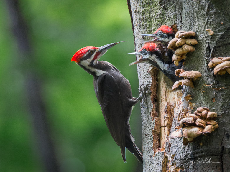 Male Pileated Woodpecker and young at Nest. Canon 5D III, 500 f/4L, 1.4x. 1/30s, f/8, ISO3200.