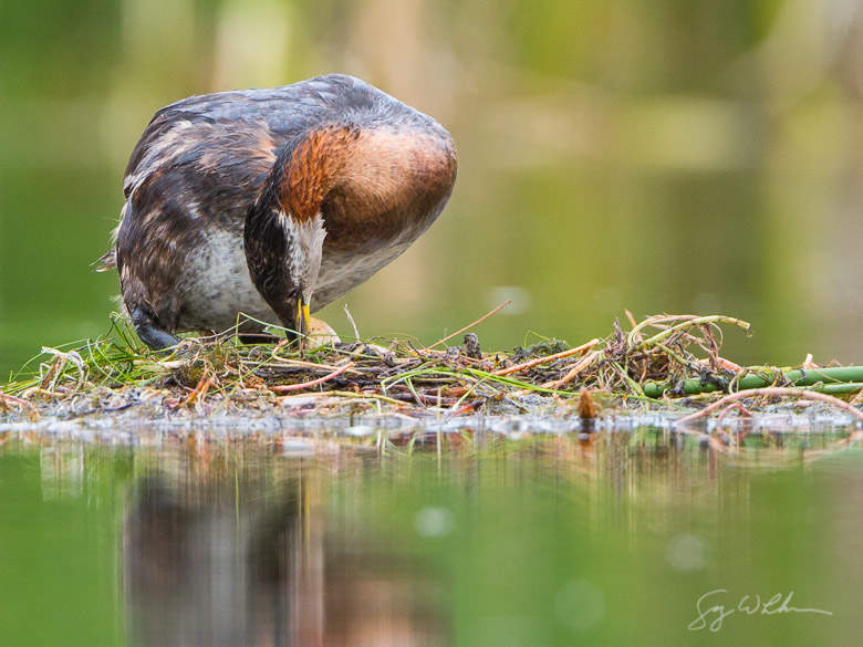 Red-necked Grebe Egg Roll. Canon 5D III, 500 f/4L, 1.4x. 1/500s, f/8, ISO1250.