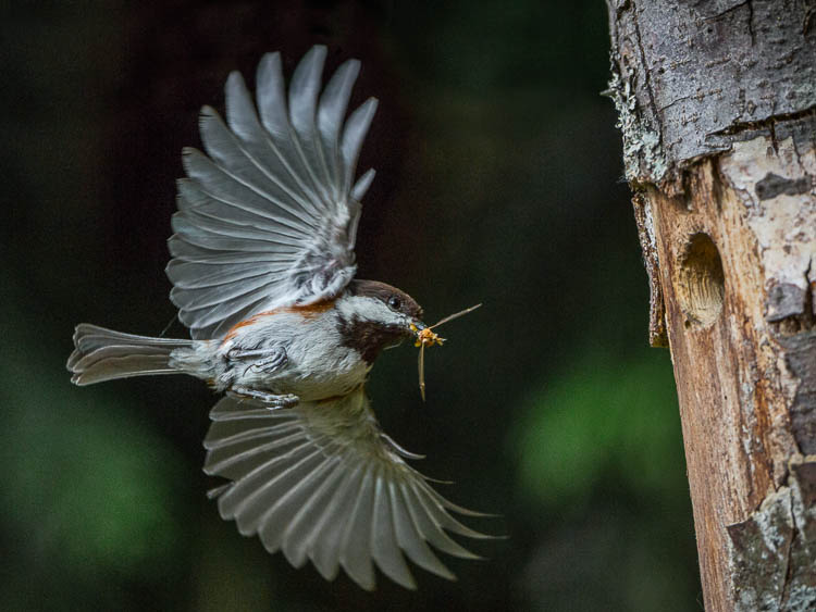My decision to manually focus just behind the nest hole gets results.Canon 5D III, 500mm f/4, ISO 3200, f/7.1, 1/2500s.