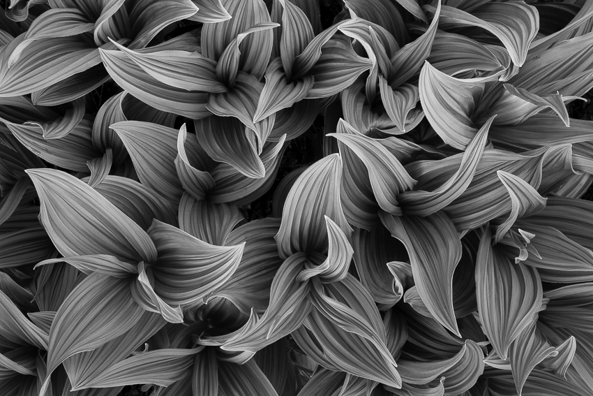 I prefer this black and whte False Hellebore to the color version. It reduces the image to a more pure state, a soothing pattern of line-etched leaf-shapes.