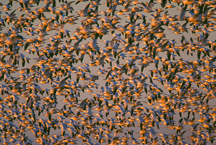 Pattern of wintering Skagit snow geese in warm sunset light