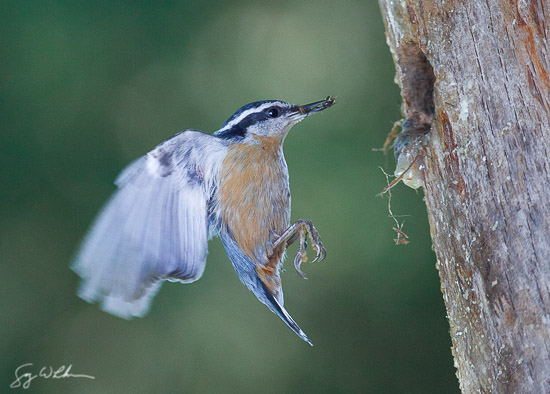 Male Red-breasted Nuthatch approaches nest with bug-filled bill.   Canon 300mm f4 @ f6.3, 1/1600 sec. , 1600 ISO,