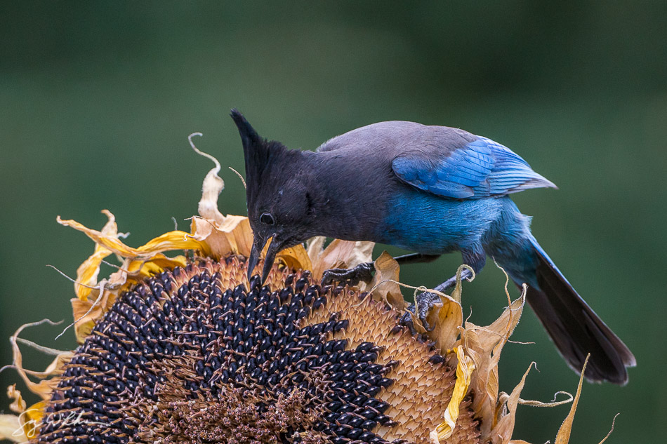 "A Steller's Jay picks up a sunflower seed. Shot with 42"" light disc bouncing overcast light into the bird, I gained about a stop of light on the bird's face. Sony a6300, Canon 500mm f4 @f5.6,, 1/1000 sec, ISO 1600."