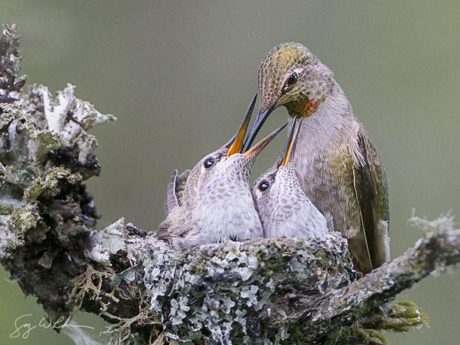 Anna's Hummingbird feeding young. Sony a6300, 500 f/4L, 1/400s, f/5.6, ISO3200