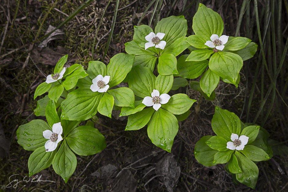 Bunchberry. Canon 5D III, 24-105 f/4L, .5s, f/11, ISO100
